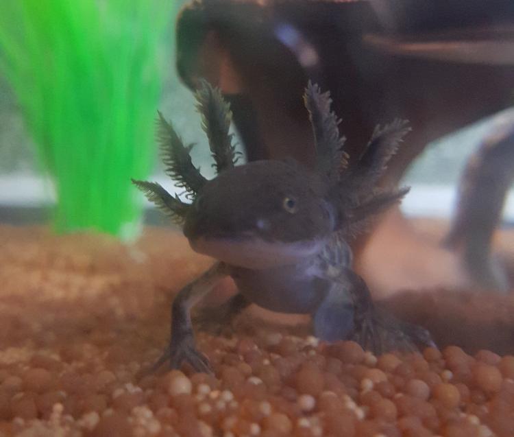 Axolotl22