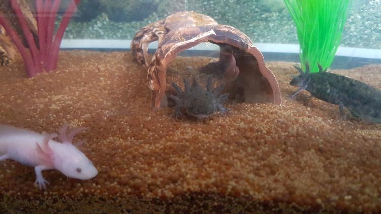 axolotl24
