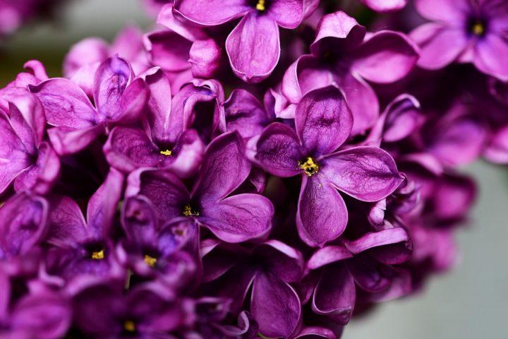 syringa-vulgaris-335104_1280