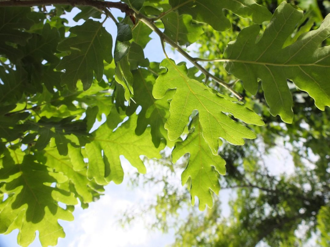 oak-618617_1280