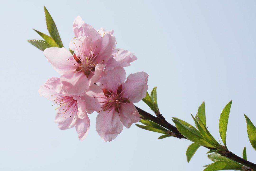 Kilian Flower of Immortality peach-blossom-1503626_1280