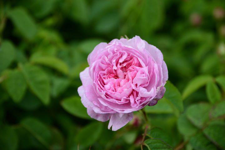 Armani Privé – Rose Alexandrie & Vétiver d'Hiver