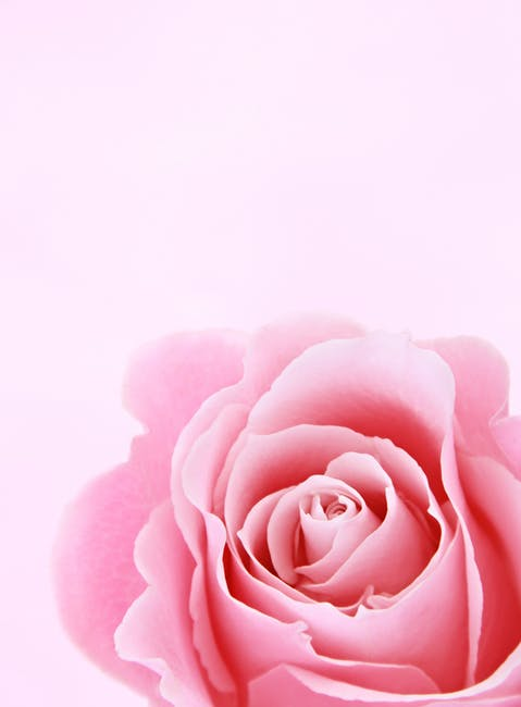https://www.pexels.com/photo/pink-rose-closeup-photography-1231265/