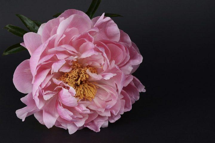 https://pixabay.com/de/photos/pfingstrose-bl%C3%BCte-rosa-weiss-1428055/