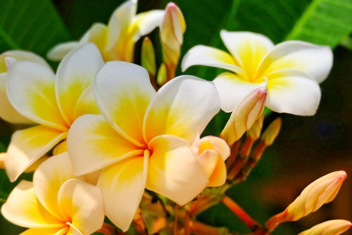 https://pixabay.com/de/photos/blume-frangipani-pflanze-tropisch-3340817/