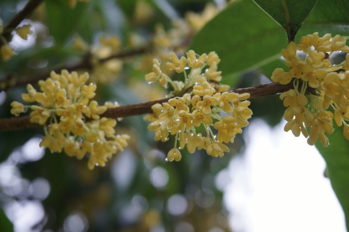 https://pixabay.com/de/photos/osmanthus-regentropfen-pflanze-2849795/