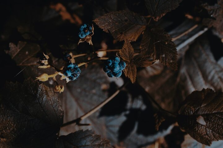 https://pixabay.com/photos/forest-berry-blackberry-autumn-4486660/