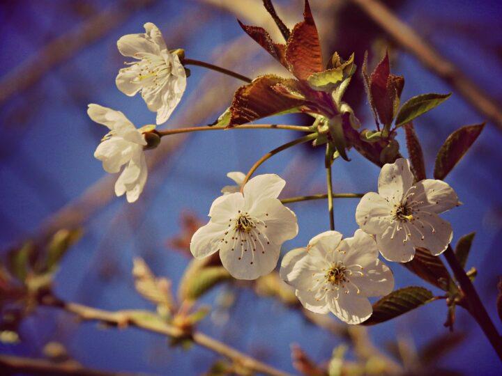 https://pixabay.com/de/photos/cherry-flower-bl%C3%BCte-baum-zweig-4994319/