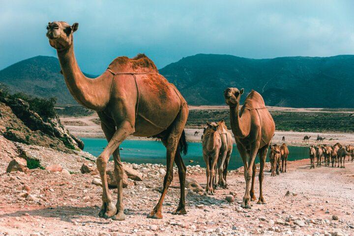 https://pixabay.com/de/photos/oman-salalah-str-kamel-weihrauch-4432360/