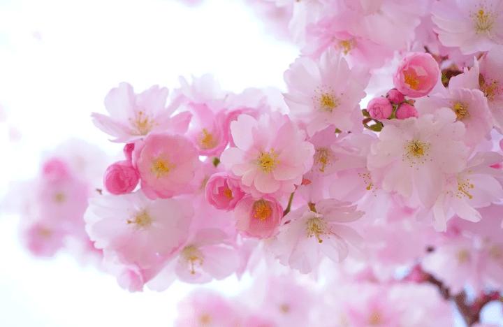 https://pixabay.com/de/photos/japanische-kirsche-b%C3%A4ume-blumen-324175/