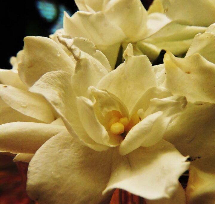 https://pixabay.com/de/photos/gardenien-blume-wei%C3%9F-natur-bl%C3%BCte-5114103/