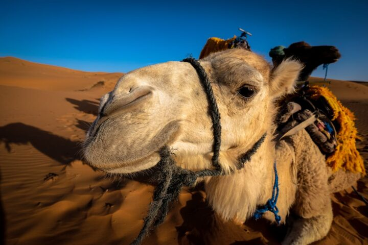 https://www.pexels.com/photo/front-view-of-a-camel-at-the-desert-area-998639/