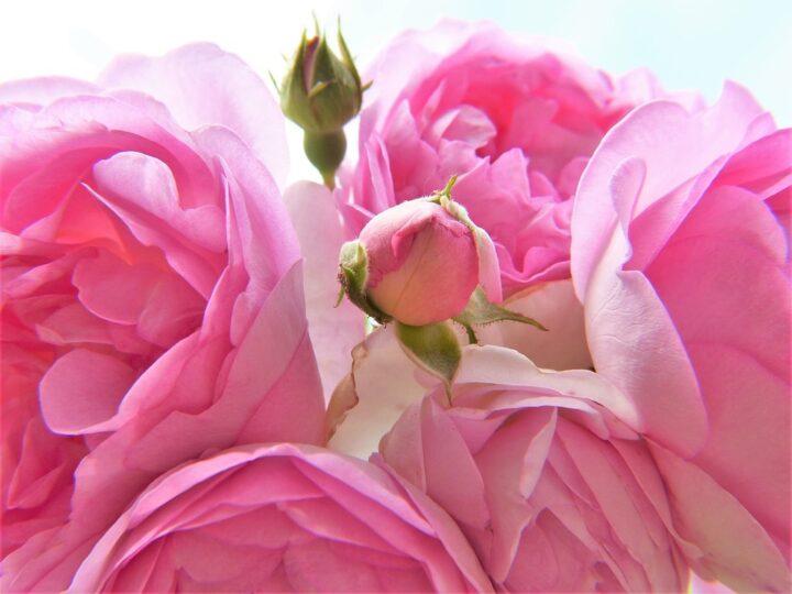 https://pixabay.com/de/photos/rose-rosa-hellrosa-bl%C3%BCte-knospe-2418734/