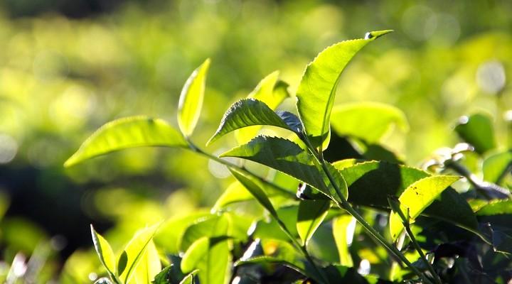 https://pixabay.com/de/photos/tee-plantage-teeplantage-indien-1028741/