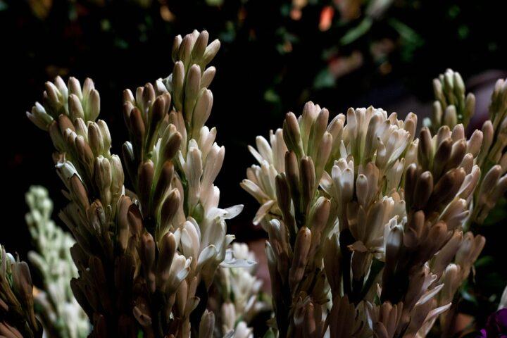 https://pixabay.com/de/photos/rajanigandha-blume-tuberose-blumen-915200/
