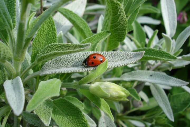 https://pixabay.com/de/photos/marienk%C3%A4fer-salbei-pflanze-sommer-1428899/