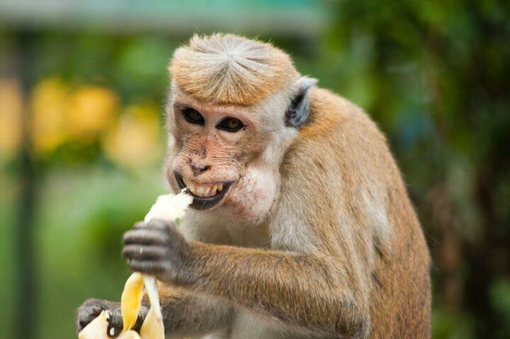 https://www.pexels.com/photo/animal-ape-banana-cute-321552/
