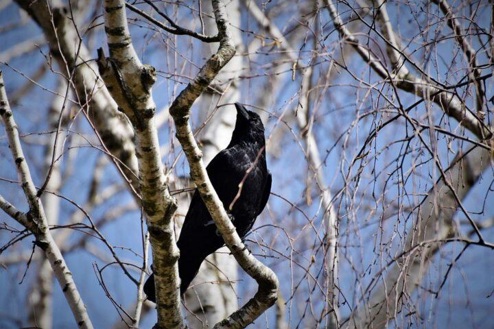 https://pixabay.com/de/photos/rabe-kr%C3%A4he-rabenvogel-vogel-tier-4983014/