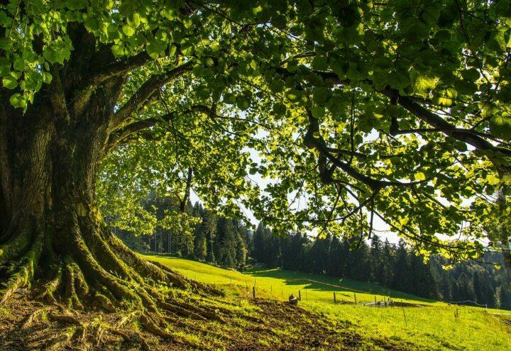 https://pixabay.com/de/photos/baum-linde-naturdenkmal-gr%C3%BCn-wald-3754585/