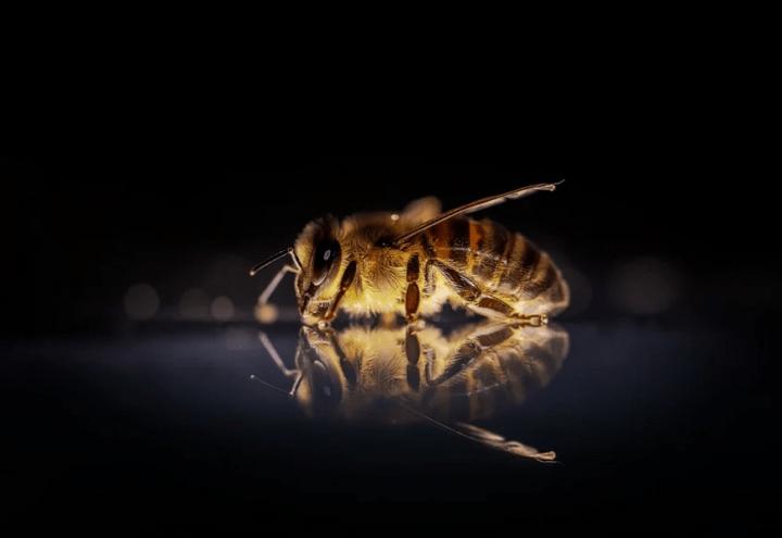 https://pixabay.com/de/photos/honigbiene-biene-bienen-insekt-3930374/