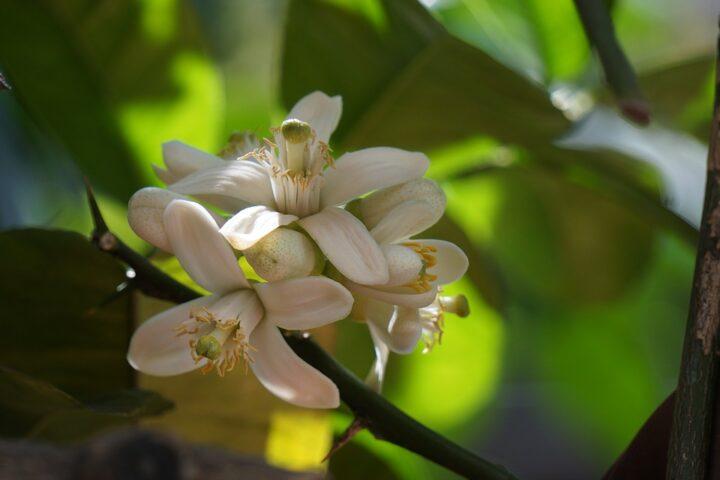 https://pixabay.com/de/photos/zitrus-orange-blossom-blume-zitrone-2090697/