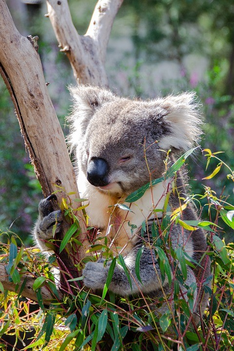 https://pixabay.com/de/photos/koala-s%C3%A4ugetier-beuteltier-tier-3690653/