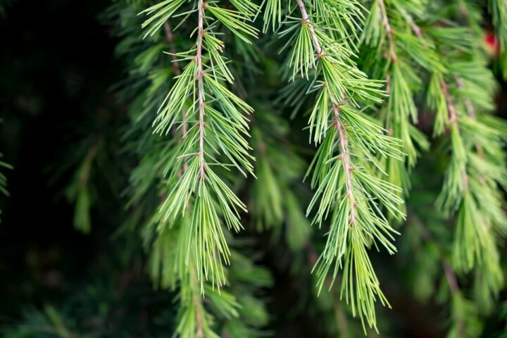 https://pixabay.com/de/photos/nadeln-baum-zeder-green-natur-4234980/