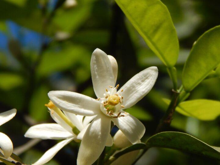 https://pixabay.com/de/photos/orange-blossom-flor-de-naranjo-2629572/