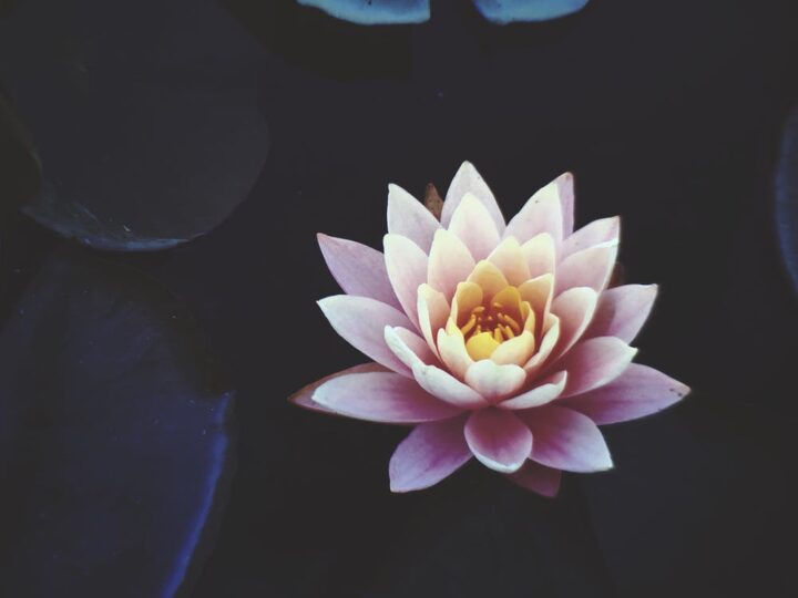 https://www.pexels.com/photo/pink-waterlily-flower-in-full-bloom-921703/