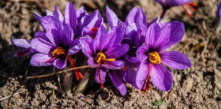 https://pixabay.com/photos/saffron-flower-nature-lilac-purple-1136778/